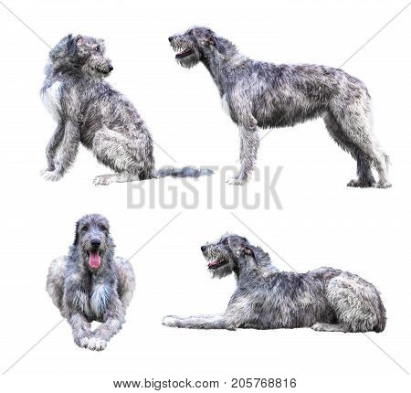 Set of the giant grey dogs isolated on white background. Irish Wolfhound