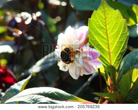 A furry, striped bumblebee sits on a white dahlia flower.