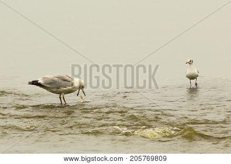 caspian gull at the fishing spot ( Larus cachinnans )