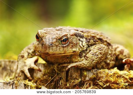 closeup of ugly common brown toad ( Bufo )