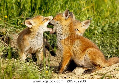 cute fox cubs playing out of the burrow ( Vulpes )