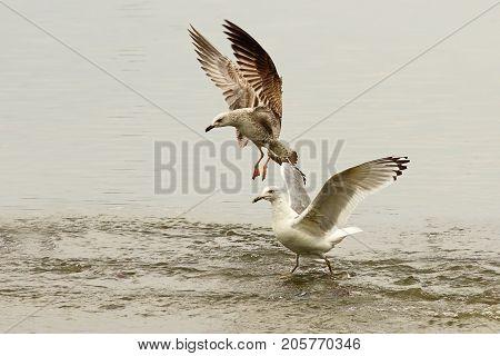 caspian gulls fighting for fishing spot ( Larus cachinnans )