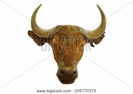 hunting trophy of african buffalo ( Syncerus caffer ) isolated over white background