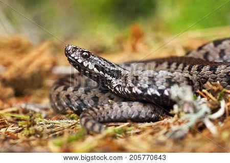 venomous european viper standing on the ground ( Vipera berus )