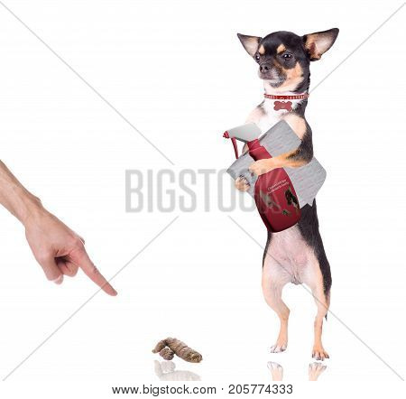 Cute chihuahua have a spray bottle and WC paper between legs for clean her poo