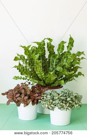 houseplant Asplenium nidus and fittonia in flowerpot