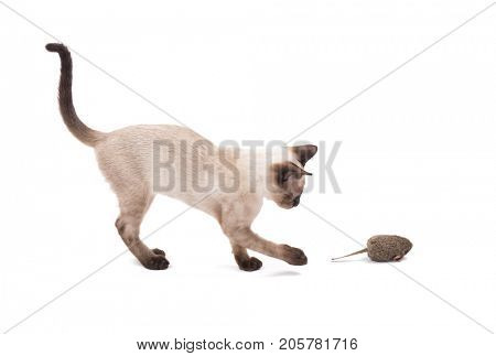 Side view of a young Siamese cat swatting at a toy mouse, on white