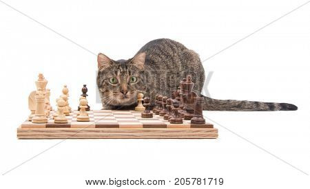 Brown tabby cat looking attentively across a chessboard, on white