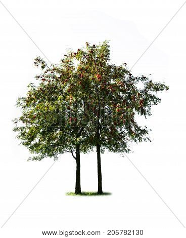 two rowan tree isolated on white background