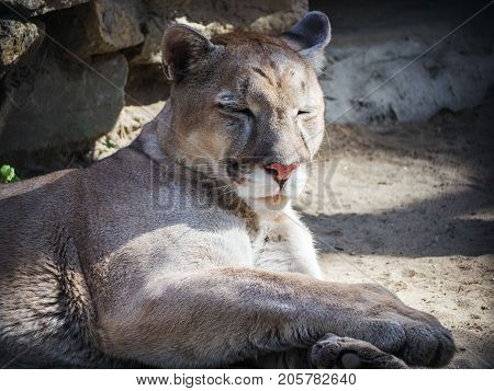 Portrait of a cougar mountain lion puma. He sleeps under the summer sun.