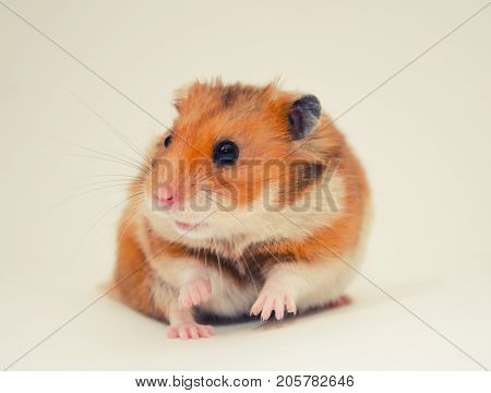 Scared Syrian hamster with a funny expression selective focus on the hamster eyes (on a gray background) retro style
