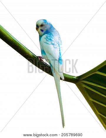 blue wavy parrot . parrot isolated. pet