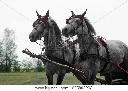Two gray carriage horses are standing outdoors.