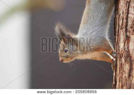 Eastern Gray Squirrel (Sciurus carolinensis) portrait. Squirrel climb the trunk of a pine tree searching for food. Wildlife autumn background