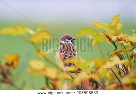 Sparrow (Passer domesticus) perching on a tree branch against green field. Beautiful brown bird on back side surrounded by blurry yellow leaves. Autumn natural background