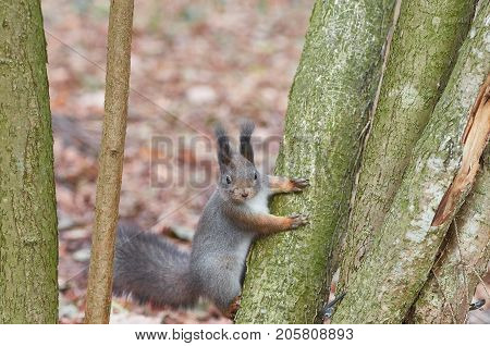 Eastern Gray Squirrel (Sciurus carolinensis) on the trunk of a mossy tree. Wildlife autumn background