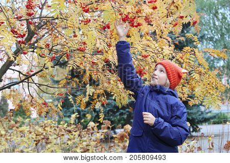 Curious kid girl collects rowan berries from the branch. Child is dressed in a funny knitted warm hat with ears, looks like a fox. Autumn, stroll in the park.