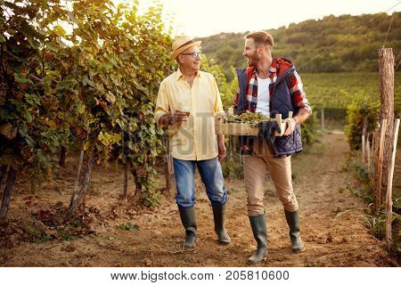 vineyard, grape harvest- People working in vineyard