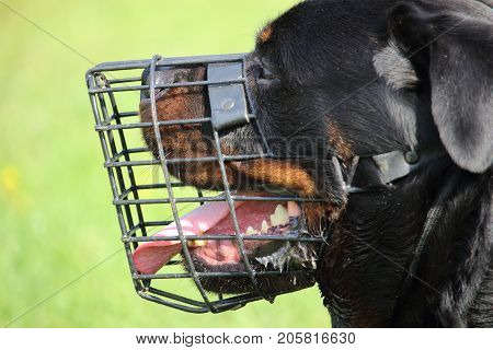 Profile of the head of a rottweiler dog with a mesh muzzle