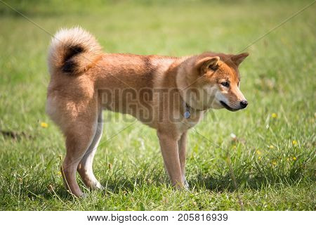 a dog of race shiba inu of color of the fox standing in the middle of the grass