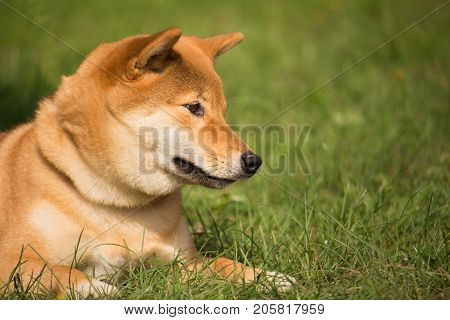 a shiba inu dog lying in the herb looks down with a cute air