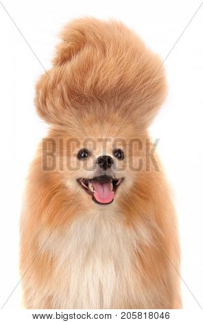 Pomeranian dog with crazy troll hair smiling