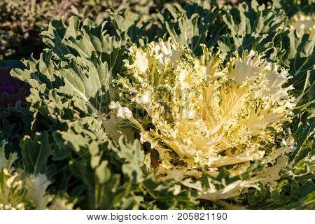 Decorative Cabbage