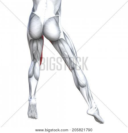 Concept conceptual 3D illustration fit strong back upper leg human anatomy, anatomical muscle isolated white background for body medical health tendon foot and biological gym fitness muscular system
