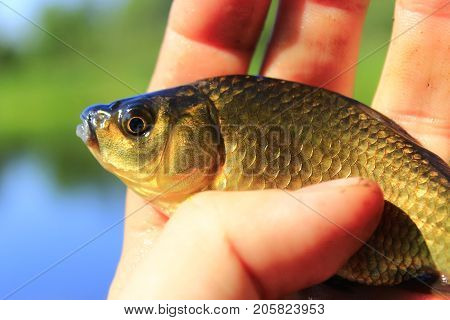fresh caught Prussian carp on the human hand