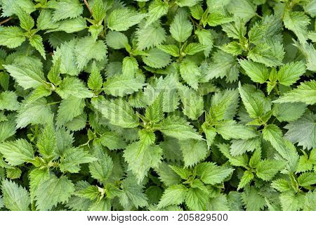 Top view of stinging Nettle (Urtica dioica)