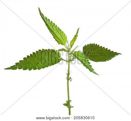 Fresh  sprig of stinging nettle ( Urtica dioica ) isolated   on white background.
