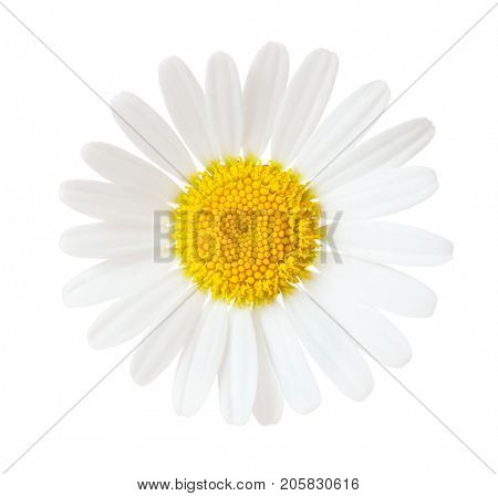 Close-up of Chamomile (Ox-Eye Daisy ) isolated on white background.