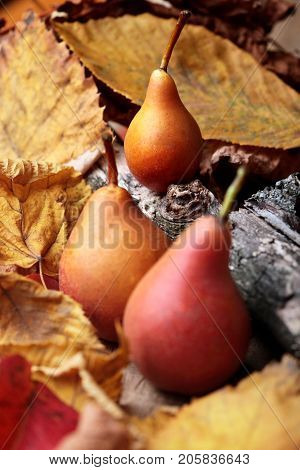 Pears. Pears Harvest. Fresh Organic Pears On Wooden Dry Branch. Pear Autumn Harvest. Autumn Nature C