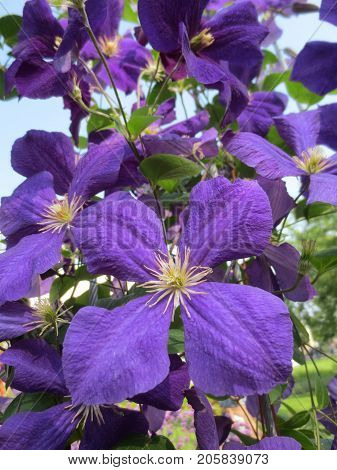 The flowers of clematis in a Sunny summer day.