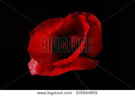 poppy flower on the black background