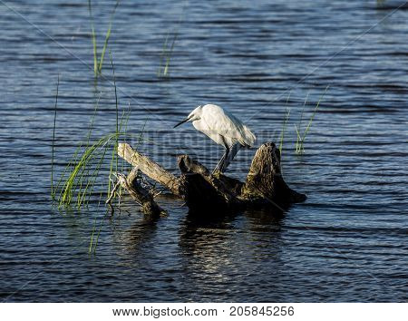 Little egret standing in a branch on the water