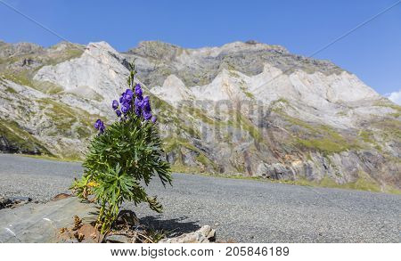 Violet flower (Aconitum napellus) on the the side of the road to the glacial Circus of Troumouse one of the largest from the Europe.