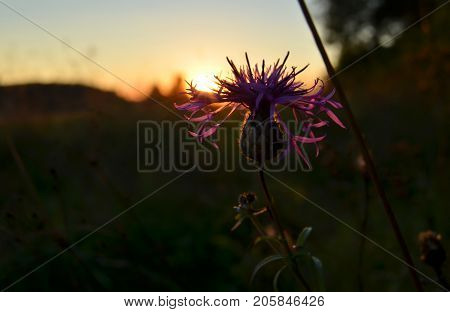 Thistle flower at sunset in the field