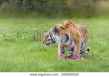 Endangered Amur tiger species as found in Russia, China and Korea
