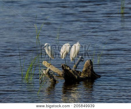 Little egrets standing in a branch on the water