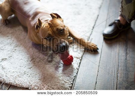 American Staffordshire Terrier lies on the floor. Dog at home interior.