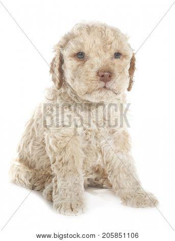Lagotto Romagnolo dog puppy