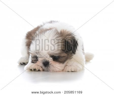 cute puppy laying down sulking