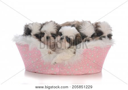 litter of five shih tzu puppies that are seven weeks old