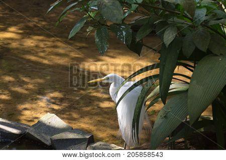 Great Egret Bird On The Nature In Foz Do Iguazu, Brazil