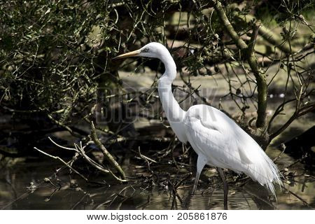 the great egret is wading in water looking for food