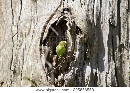 the parakeet is resting in a hollow in a tree