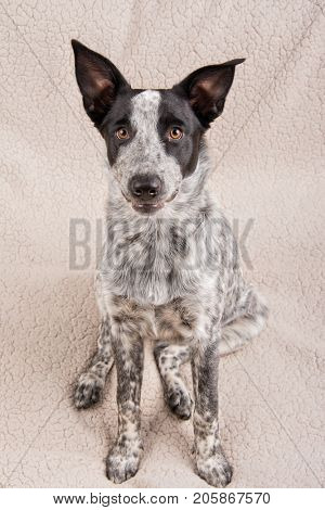 Cute spotted young Texas Heeler dog sitting down, looking up at the viewer with a curious expression
