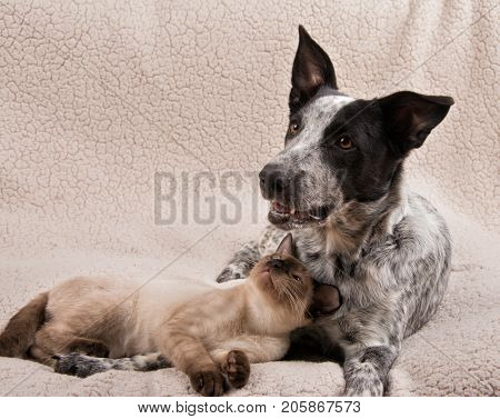 Young Siamese cat and a young dog lying together on a soft blanket, cat looking at the dog