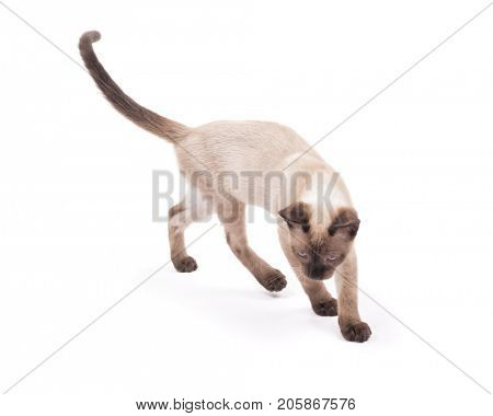 Young Siamese kitten keenly tracking something, on white